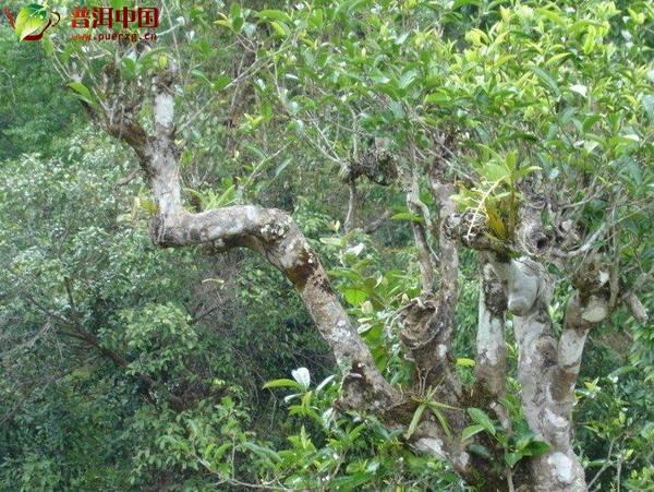 普洱茶区:探访千年野生茶王树